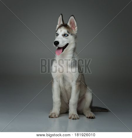 Beautiful siberian husky puppy dog on grey background. Copy space.
