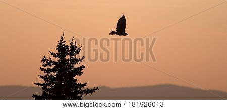 Lone Hawk flying at sunrise on Sykes Ridge in the Pryor Mountains in Wyoming USA