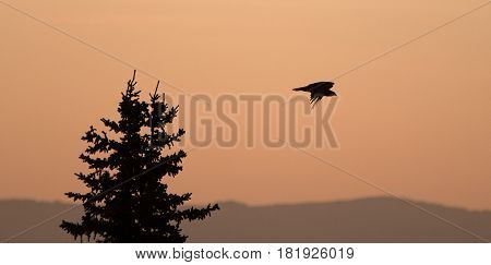 Lone backlit Hawk flying at sunrise on Sykes Ridge in the Pryor Mountains in Wyoming USA