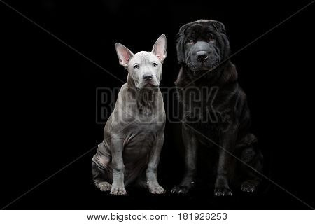 Beautiful old black purebred shar pei dog and cute blue thai ridgeback puppy sitting over black background. Copy space.