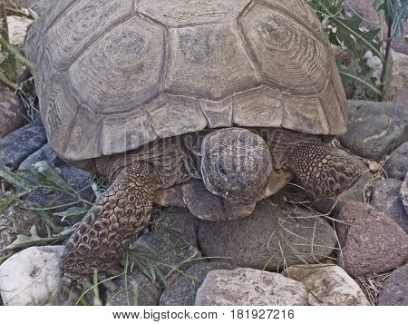 California desert tortoise crawling on top of white and grey rocks with blades of grass poking through.