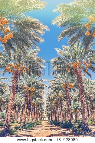 Plantation of date palm trees. Start of the growing season of dates. Middle East agricultural industry concept . Toned image for vintage effect