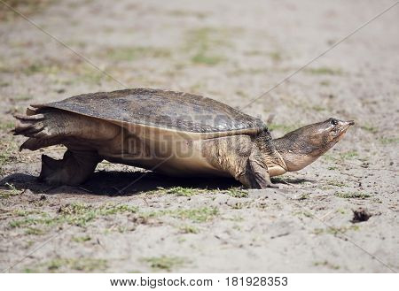Florida Softshell Turtle digging a hole to lay its eggs