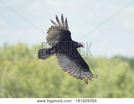 Turkey Vulture in flight over Florida wetlands
