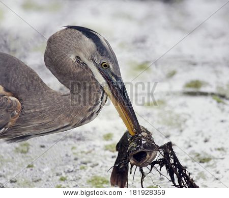 Great Blue Heron with a fish in its beak