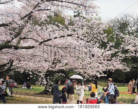 Korakuen Garden, Okayama, Japan - April 8, 2017 : Japanese enjoying cherry blossoms festival in korakuen garden. Hanami is Japanese tradition of welcoming spring.