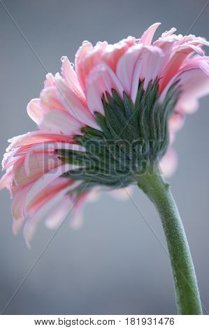The back of a pink gerber daisy in natural light.