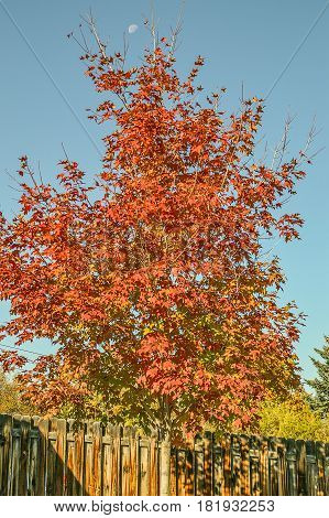 Maple tree with red leaves and a little more than half a moon against a blue sky
