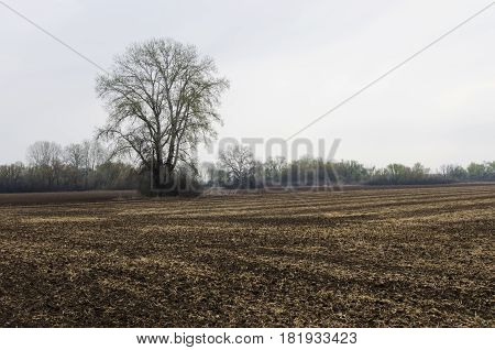 One poplar on a plowed field in the spring