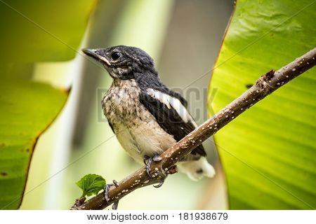 image Oriental Magpie Robin bird in Thailand