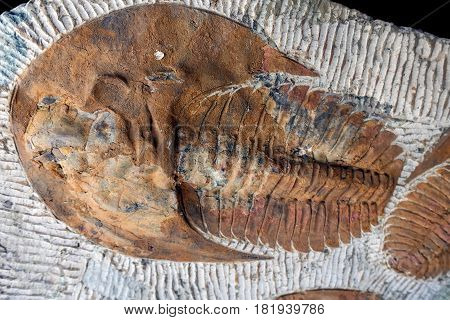 Trilobyte fossil on sand stone background - detail.
