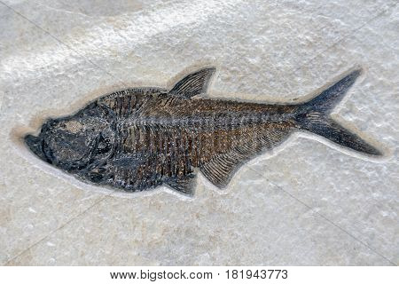 Fish fossil on sand stone background - close up.