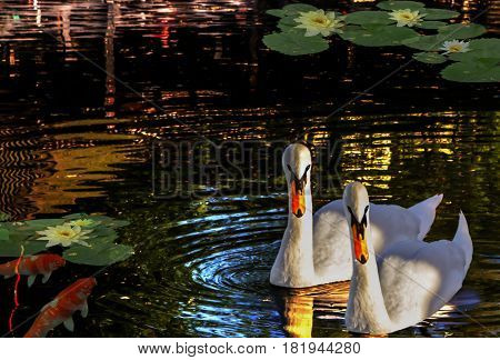 A couple of swans floating on the lake which reflects lights