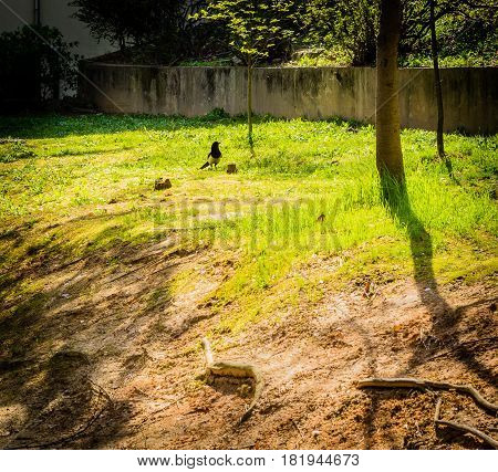 Single magpie standing in a small clearing next to a concrete wall on a bright sunny day