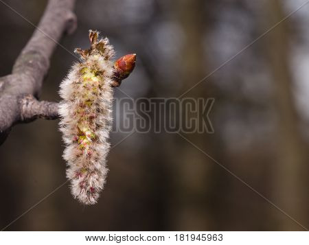 Aspen catkins on branch with bokeh background macro selective focus shallow DOF.