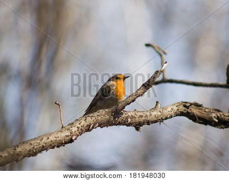 European Robin Erithacus rubecula bird on branch close-up portrait selective focus shallow DOF.