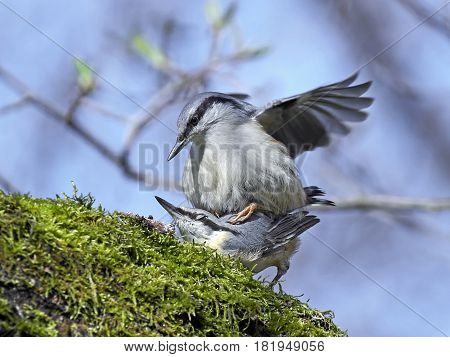 Eurasian nuthatchs mating on a branch in their habitat
