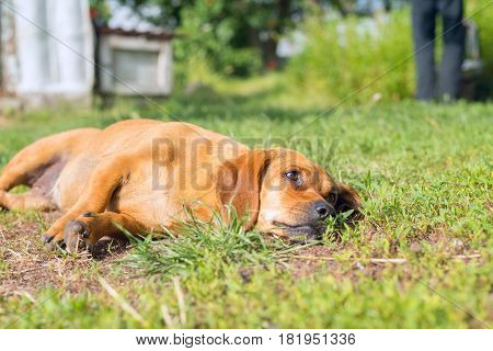 Small Brown Dog Lies And Looks Carefully At The Owner