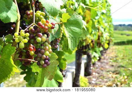 Vineyards at Neuchatel lake, Switzerland