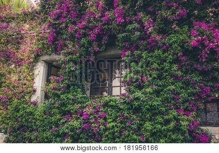 The beautiful window overgrown with purple flowers