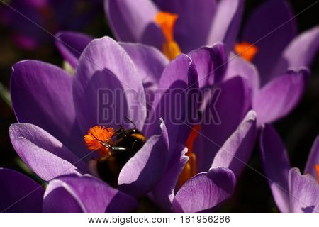 Spring. Large flowers of crocuses with violet petals and orange pestles have revealed. Collects nectar the woken up bumblebee.