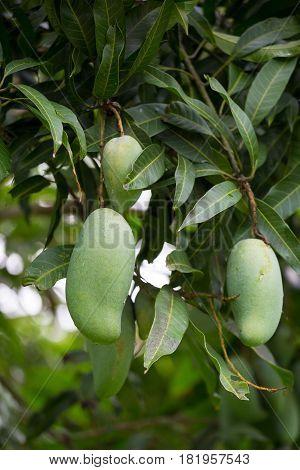 Green Mango On The Mango Tree Fruit Mango