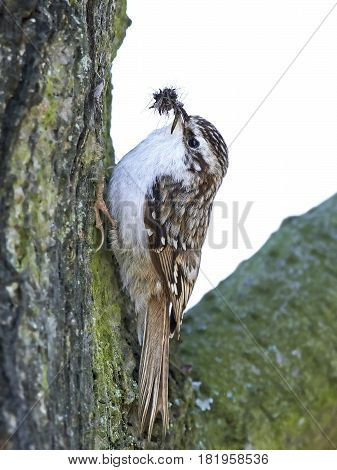 Eurasian treecreeper sitting on a tree trunk with insects in its beak