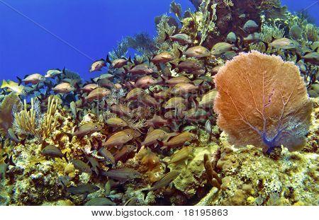 School Of Fish And Sea Fan In Cayman Brac