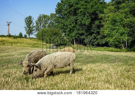 Wild pig walking through the meadow to rural farms.