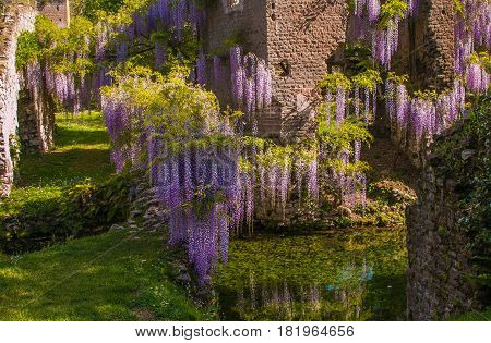 Wisteria on ruins of Ninfa city in Lazio, Italy