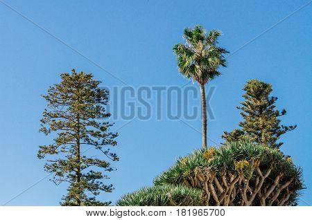 Canary islands trees: palm pine tree and dracaena draco