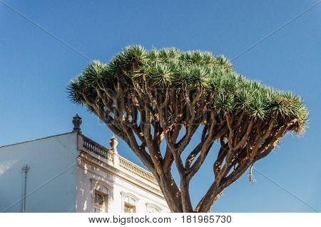 Dracaena draco or dragon tree is natural symbol of Tenerife island
