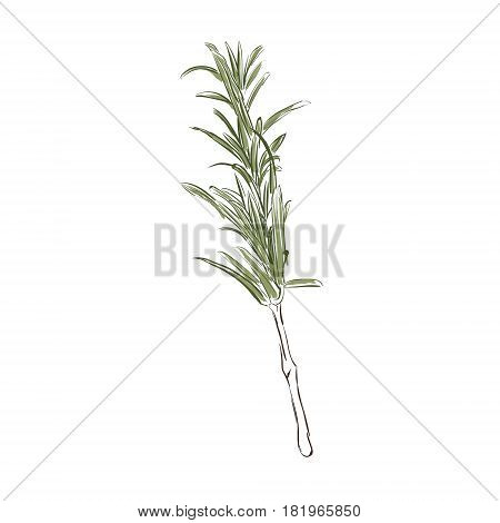 Rosemary Herb Vector
