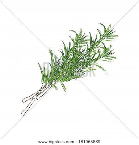 Fresh Rosemary Vector