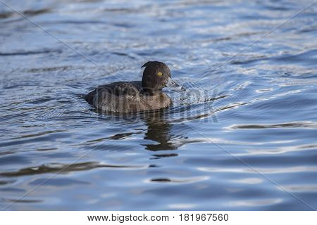 Tufted duck female on a loch in Scotland