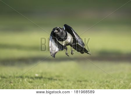 Magpie flying forward from the grass, close up