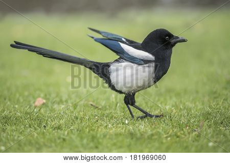 Magpie Standing On The Grass, With Open Wings