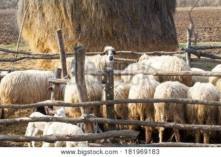 Flock of sheep in transylvanian countryside on a sunny spring day Romania