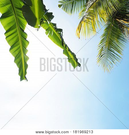 Look up to Banana leaves and coconut tree leaves over clear blue sky.