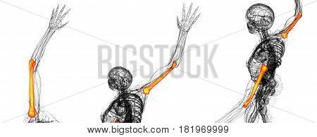3D Rendering Illustration Of The Humerus Bone
