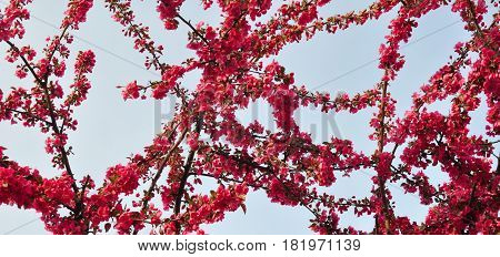 Spring Branch of a Blossoming Plum Tree with Pink Flowers and Blue Sky