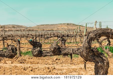 A photo of a vineyard in spring, with selective focus and a place for text, toned image