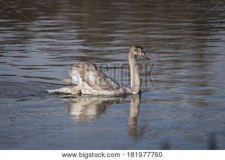 Mute Swan Cygnet Swimming On A Pond