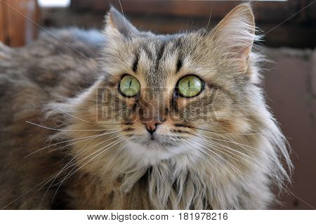 cat animal  feline domestic  house furry beast Siberian green eyes breed comfort reverie attention fluff
