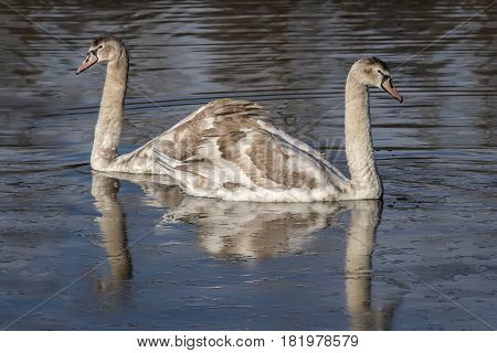 Mute Swan Cygnets Swimming On A Pond