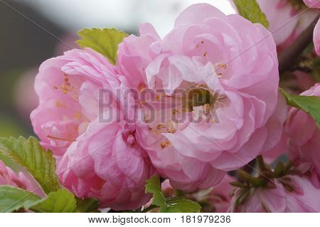Dwarf Almond, Prunus triloba, flowers of springtime