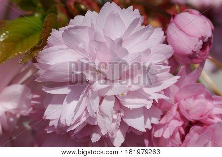 Hill Cherry, Kiku-shidare-zakura, Prunus serrulata, flowers of springtime