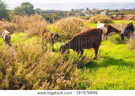 sheeps in nature green meadow near the sea
