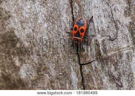 Photo of the insect bug soldier outdoor.