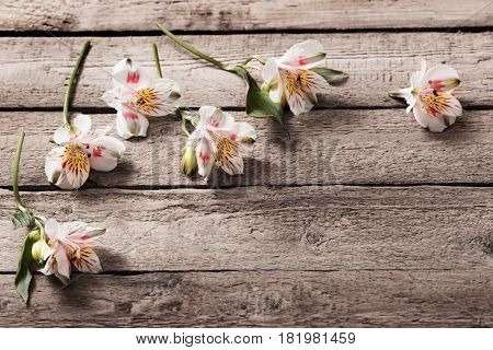 the white lstromeria on old wooden background